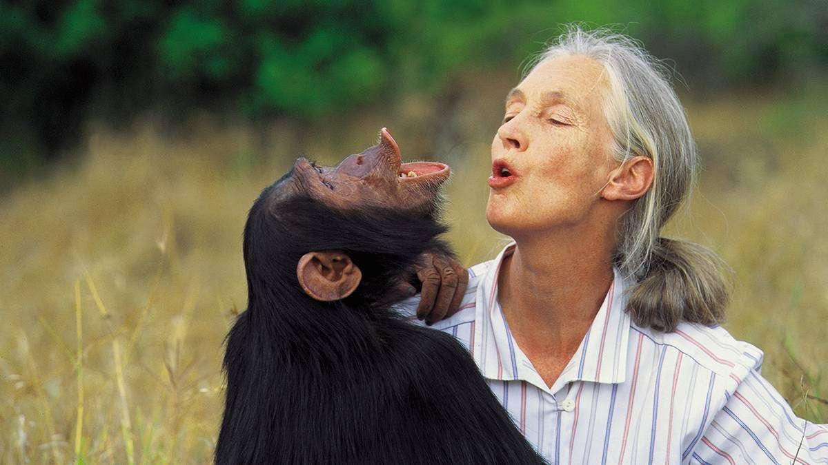 Джейн Гудолл — знаменитый приматолог 45 лет изучает шимпанзе